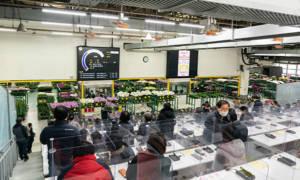 Auctioning of potted Phalaenopsis