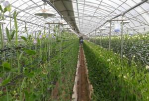 South Korean glasshouse production Lathyrus