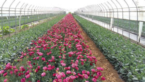 South Korea - harvesting Lisianthus when the first flower has fully opened